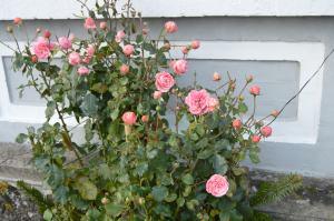 Roserne ved Teglgade 10