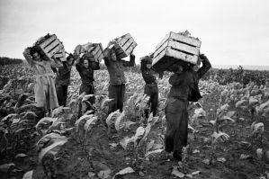 Tobaksdyrkning under besættelsen