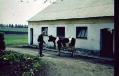 Første ko ude