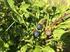 Skønne blåbær