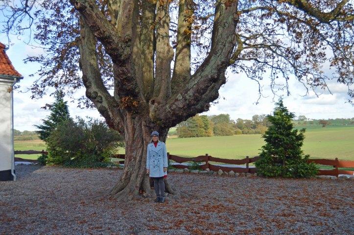 Det gamle egetræ ved Hejninge skole